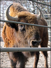 A bison behind bars